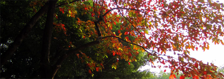 Red Leaves in Sun Yat-sen University